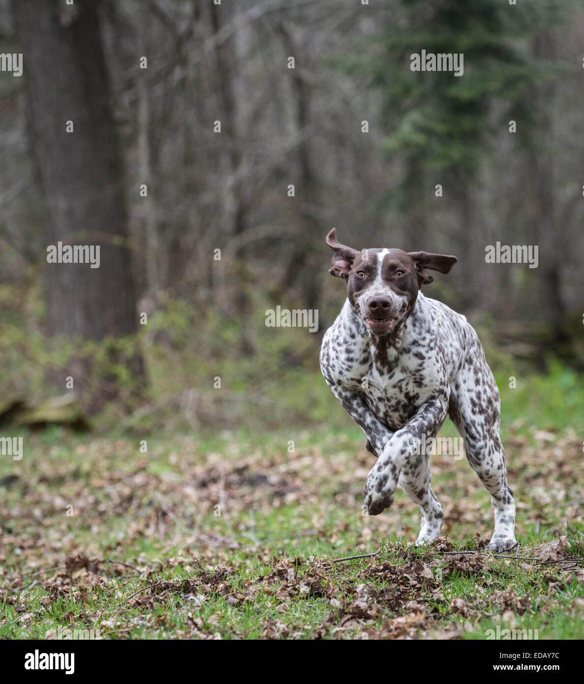 german shorthaired pointer running in the woods - Stock Image