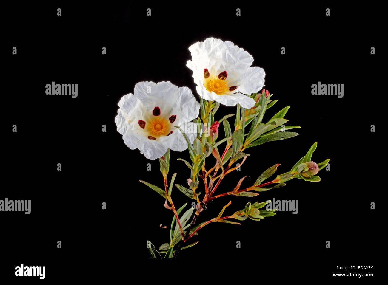 Gum rockrose - Cistus ladanifer - in the heath fields of Alentejo, Portugal - Stock Image