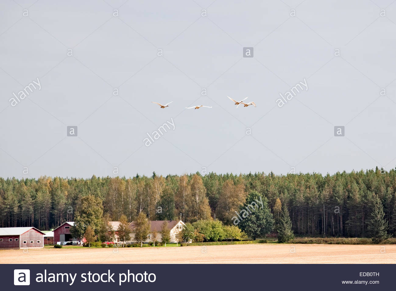 Whooper swans flying over a farm in Finland - Stock Image
