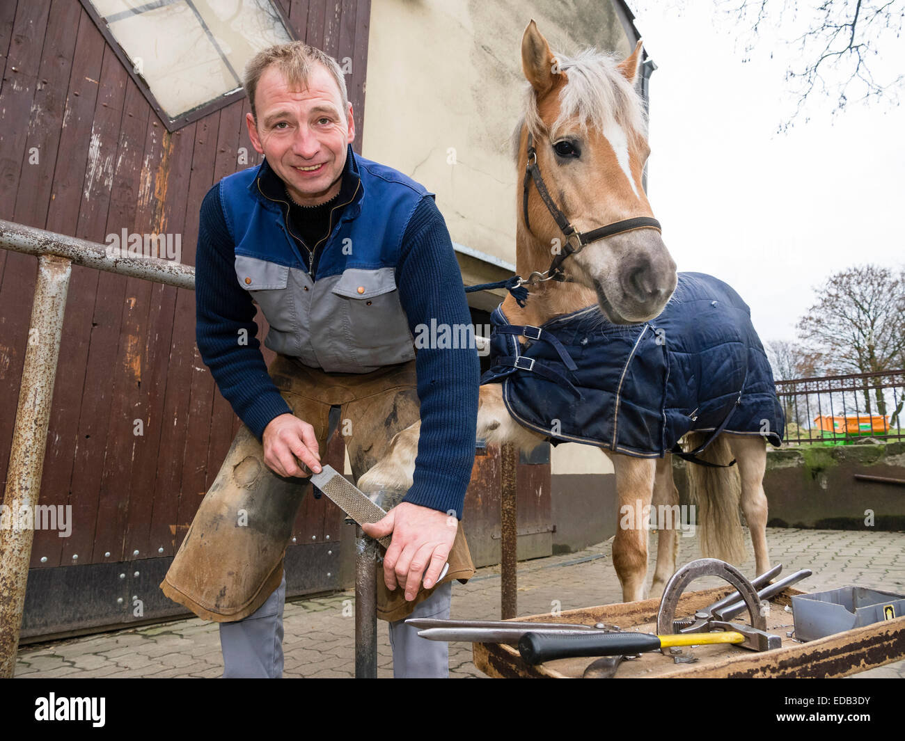A farrier shoes a Haflinger mare. - Stock Image