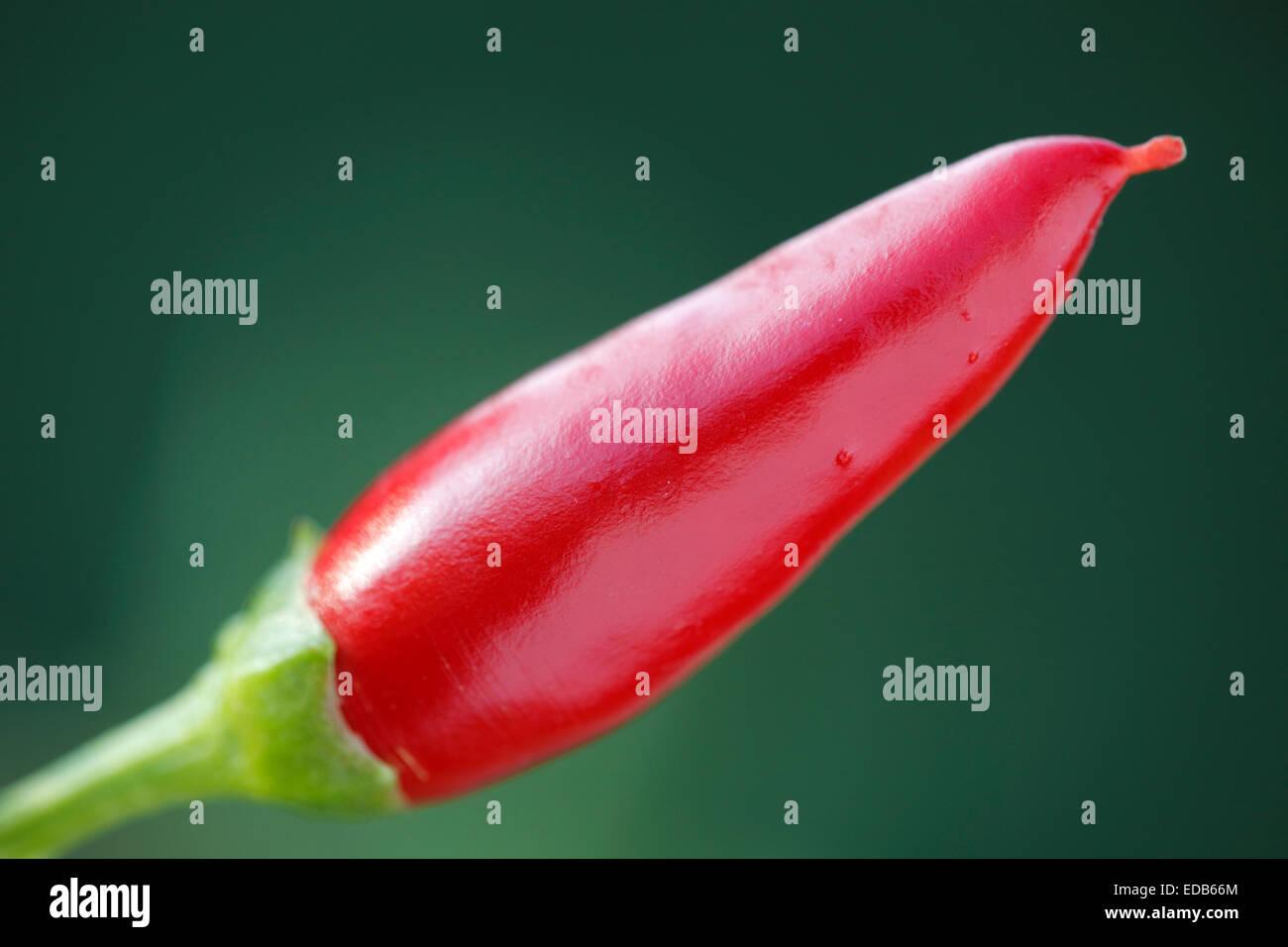 Red Hot Chili Peppers, Capsicum annuum - Stock Image