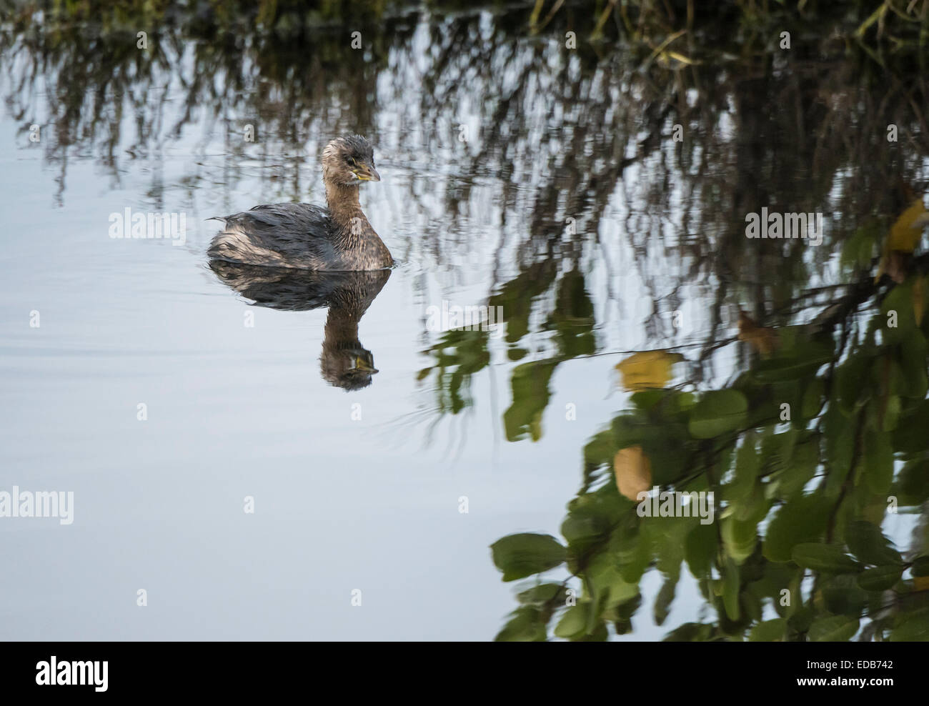 Immature Least Grebe, a swimming asnd diving bird of the wetlands - Stock Image