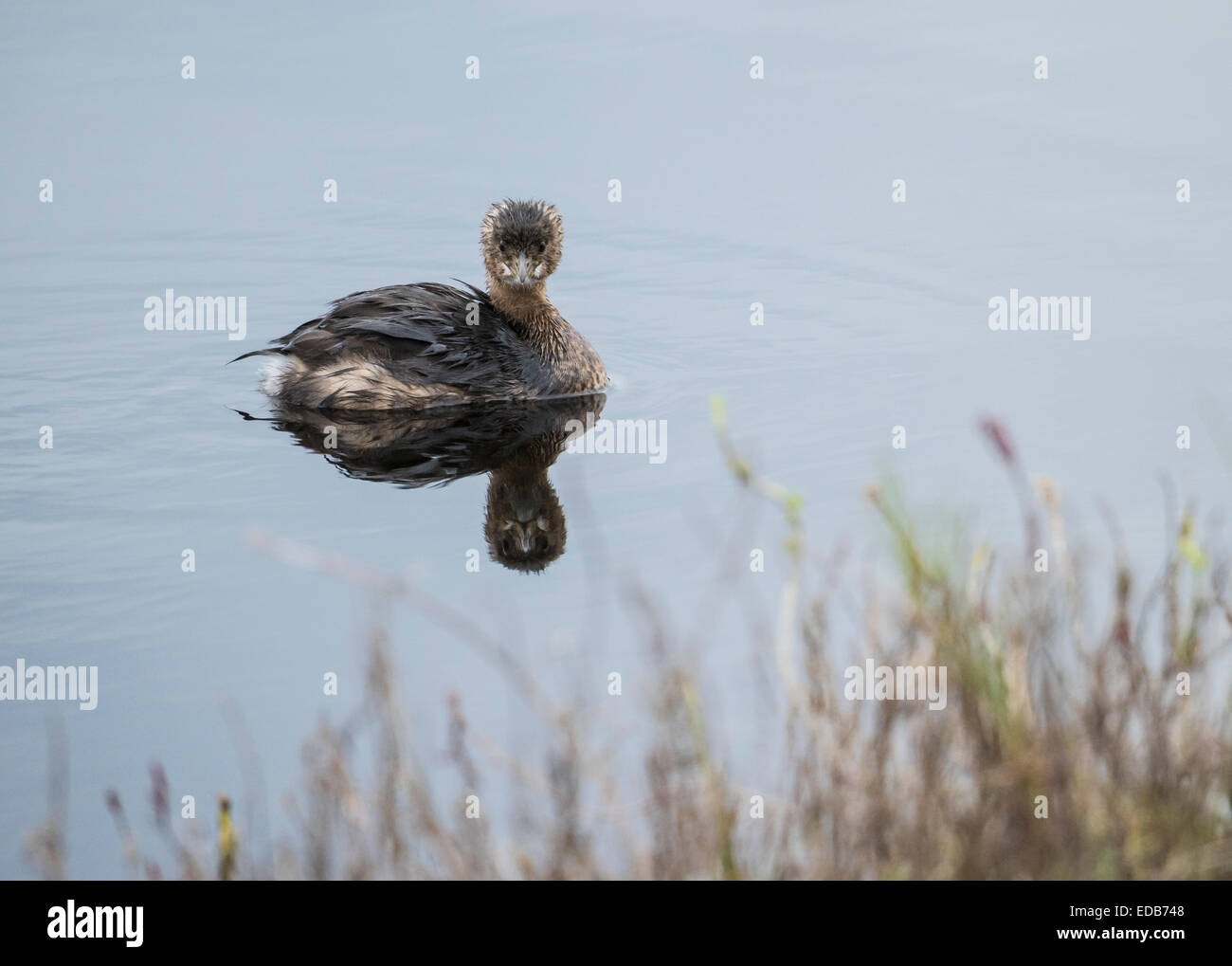 Immature Least Grebe, a swimming and diving bird of the wetlands - Stock Image