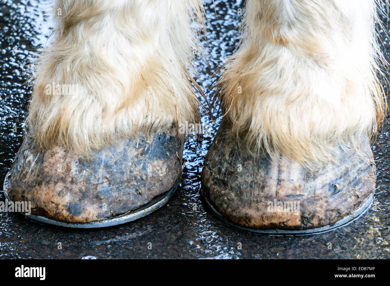 Shod hooves and white pasterns of an old draft horse standing on wet pavement. - Stock Image
