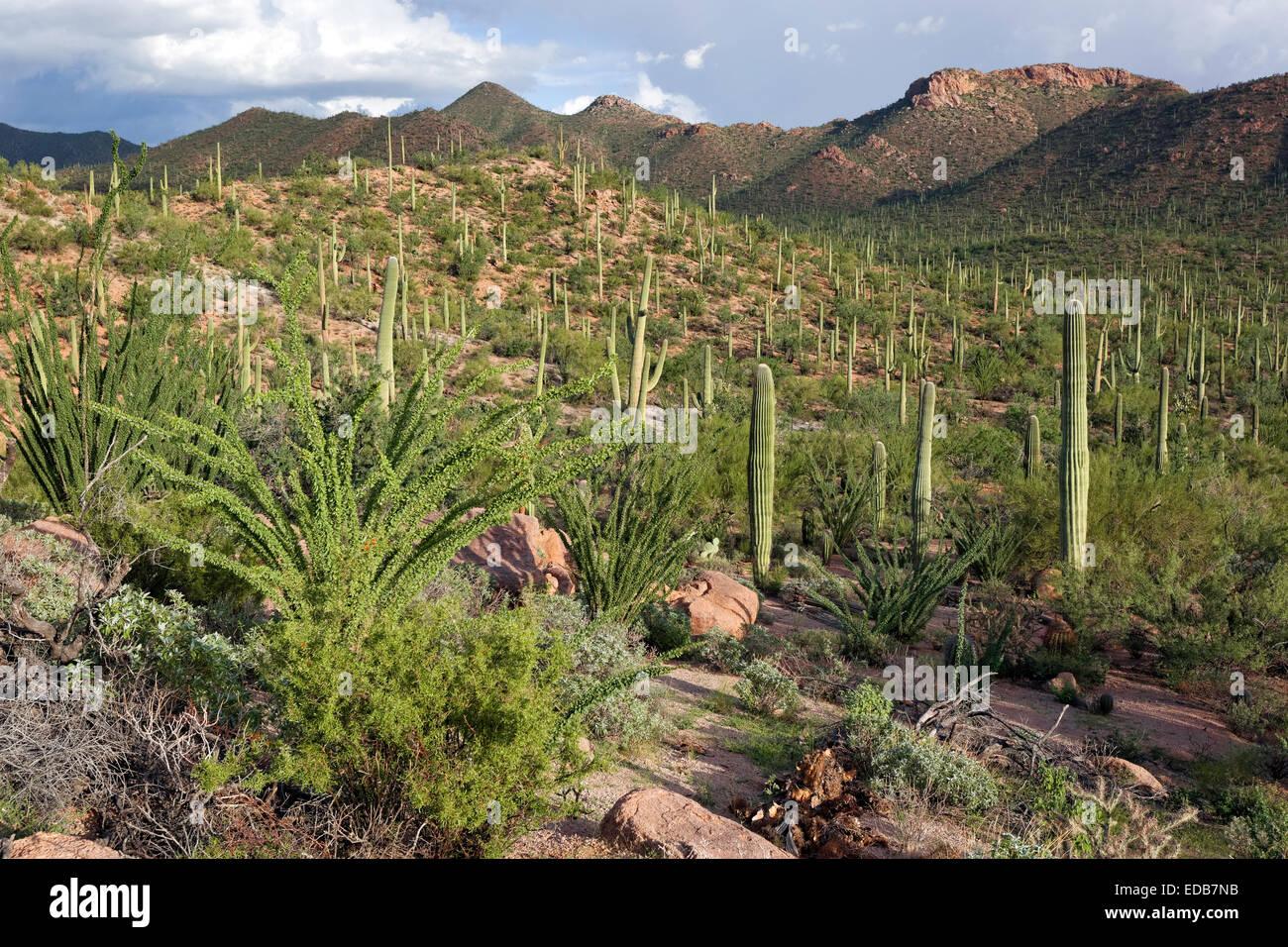 Saguaro National Park West, Tucson, Arizona - Stock Image