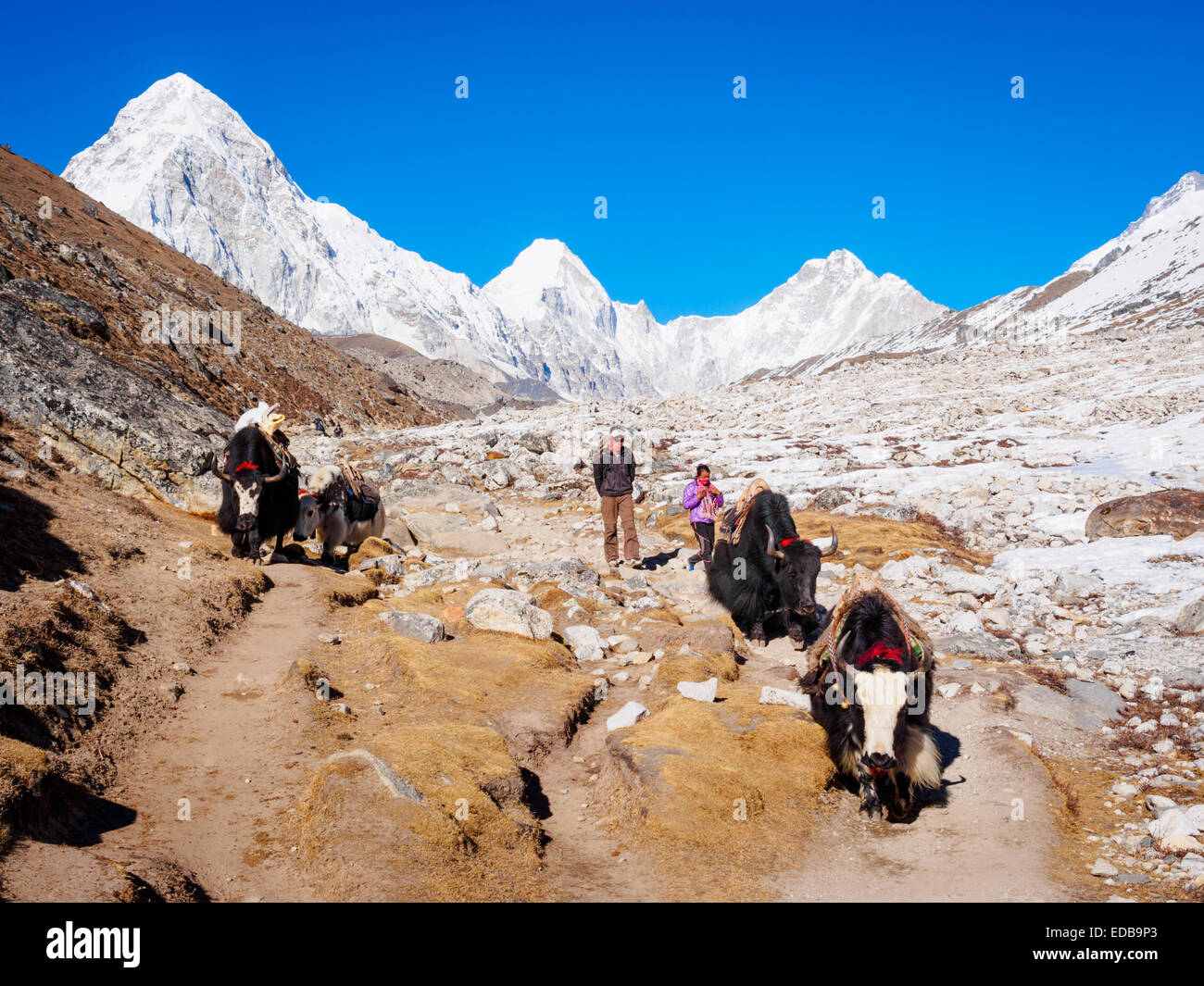 Yaks beside the Khumbu glacier near Everest Base Camp in Nepal - Stock Image