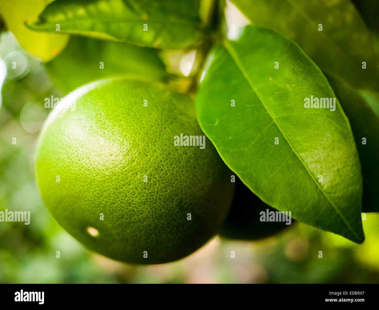 Fresh, unripe green oranges on tree in orange orchard. Stock Photo