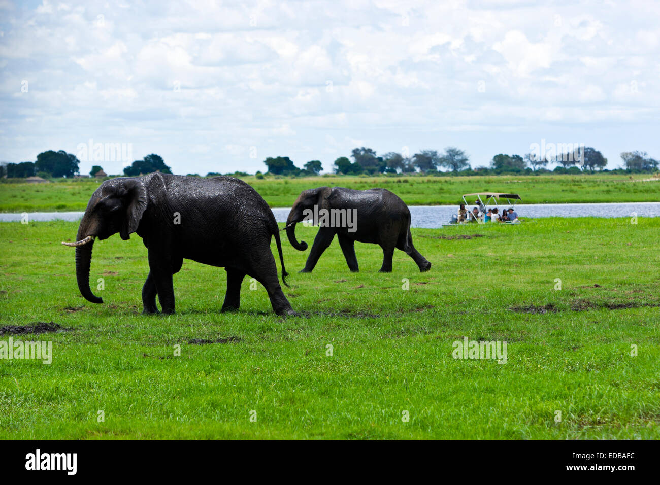 Tourist on a game viewing boat watch as two African elephants (loxodonta africana)have a mud bath. Chobe National Stock Photo