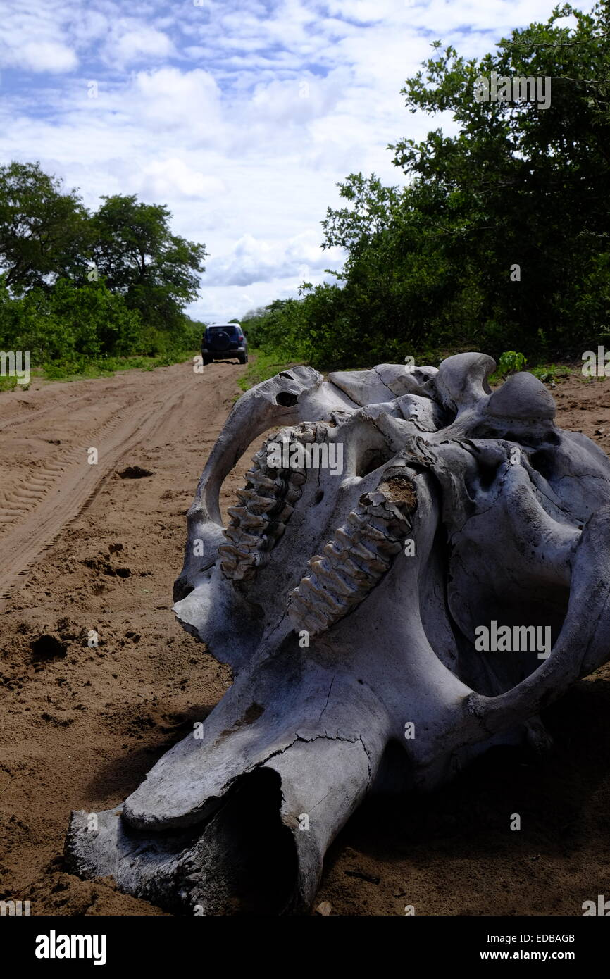 An elephant skull lies alongside the road where it fell as a fourwheel drive vehicle passes by. Savuti Botswana. - Stock Image