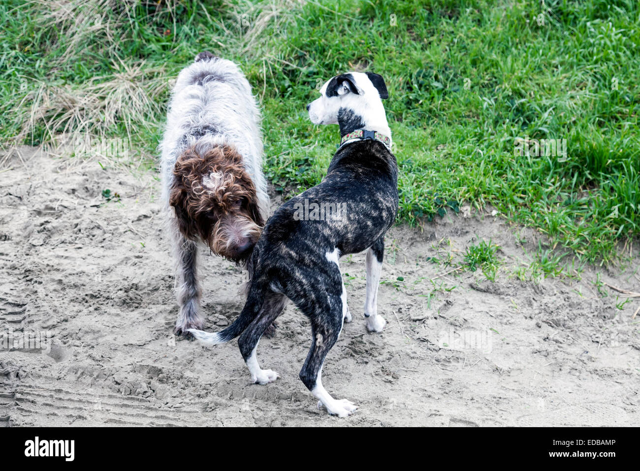 Griffon Dog Stock Photos & Griffon Dog Stock Images - Alamy
