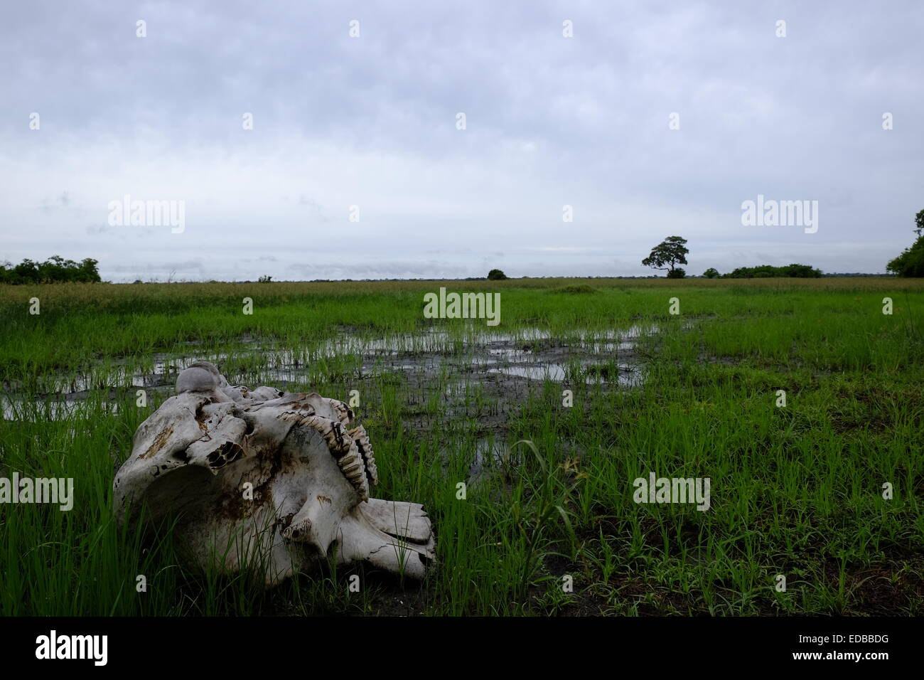 Elephant skeleton with the skull and bones lie scattered on the ground whilst a rainstorm gathers in the distance - Stock Image