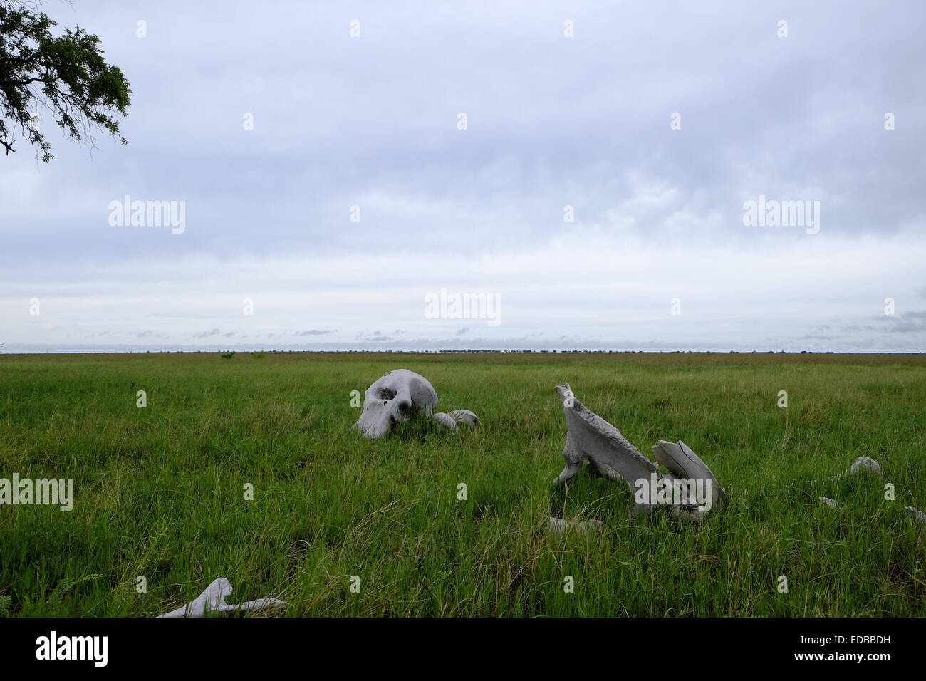 Elephant skeleton with skull and bones lie scattered on the ground whilst a rainstorm gathers in the distance Savuti - Stock Image