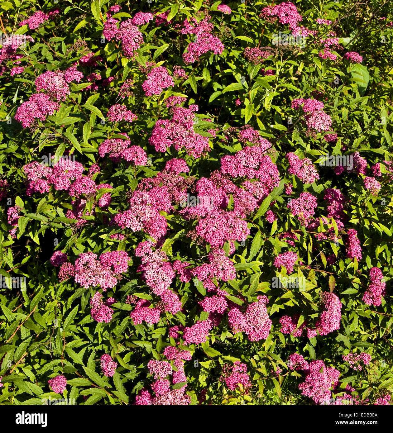 Pink Flowering Spirea Stock Photos Pink Flowering Spirea Stock