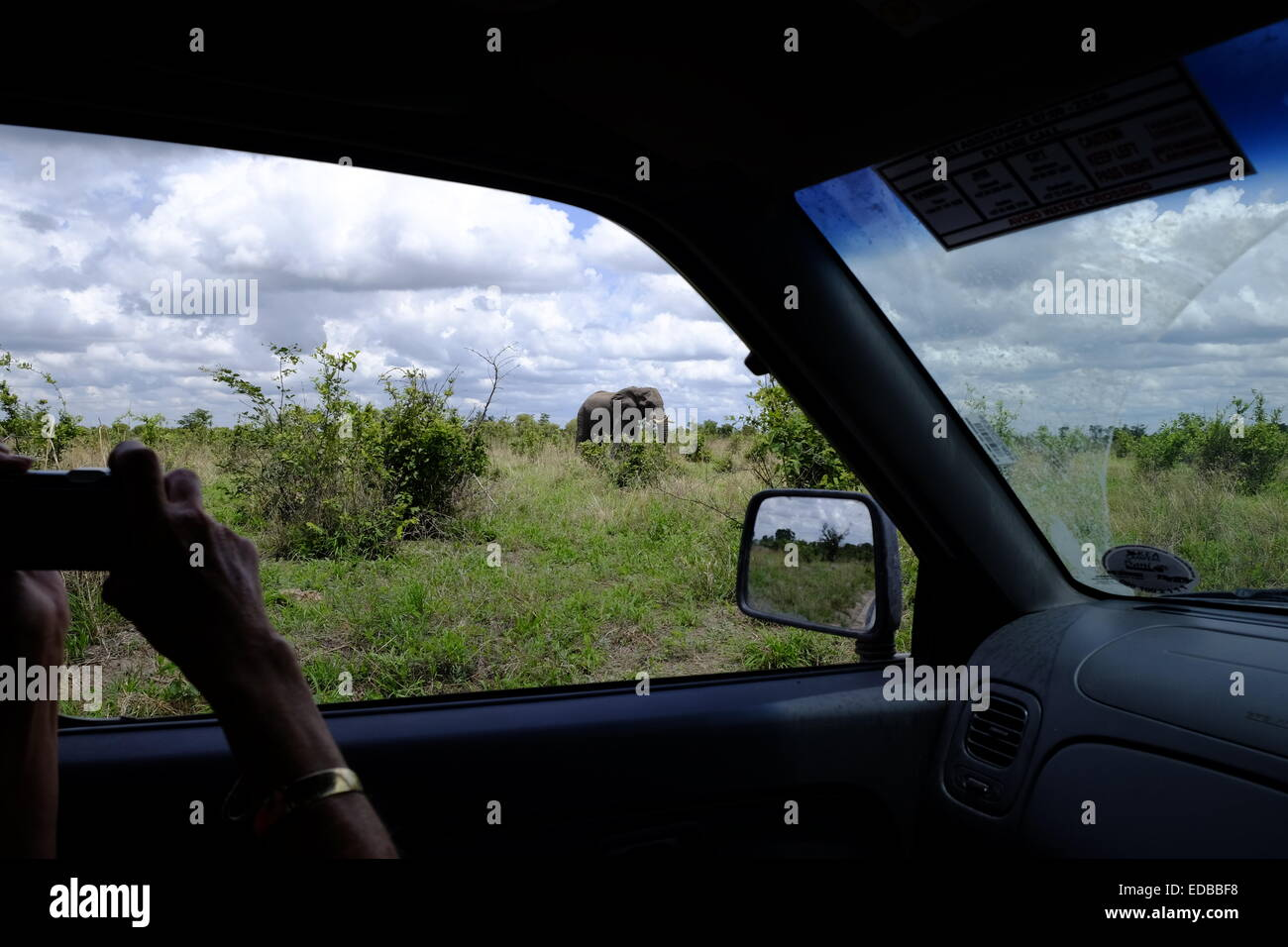 A tourist on safari photographs an elephant from the window of her car Botswana. - Stock Image