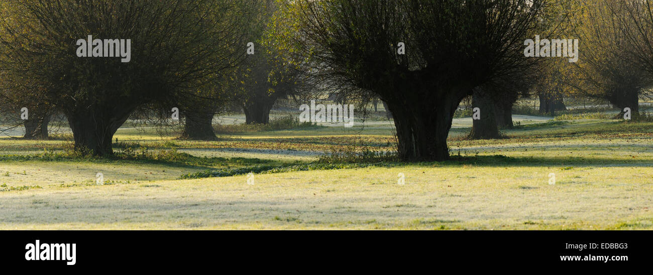 Pollard Willows in the Lower Rhine area, Himmelgeister Rheinbogen nature reserve, Düsseldorf, North Rhine-Westphalia, - Stock Image