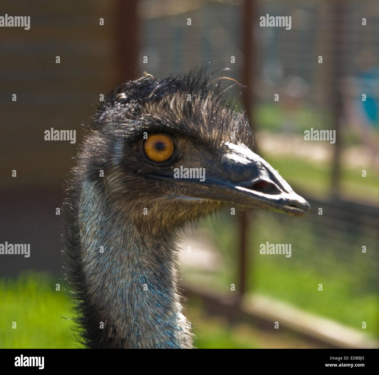 Head of two-toed ostrich (struthio camelus), lives in Africa - Stock Image