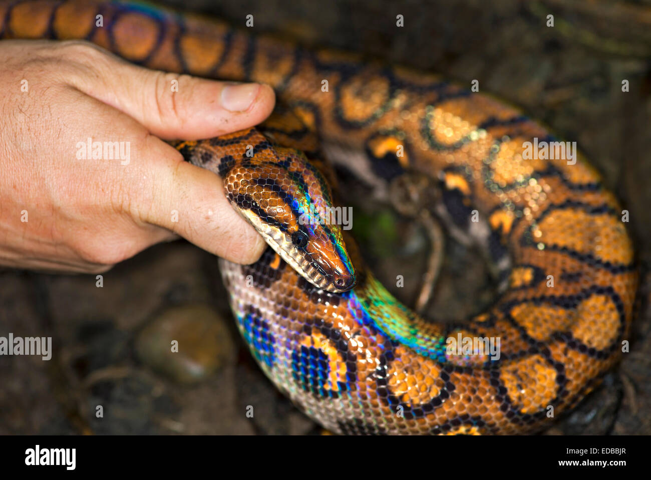 Freshly molted Rainbow Boa (Epicrates cenchria), Tambopata National Reserve, Madre de Dios, Peru Stock Photo