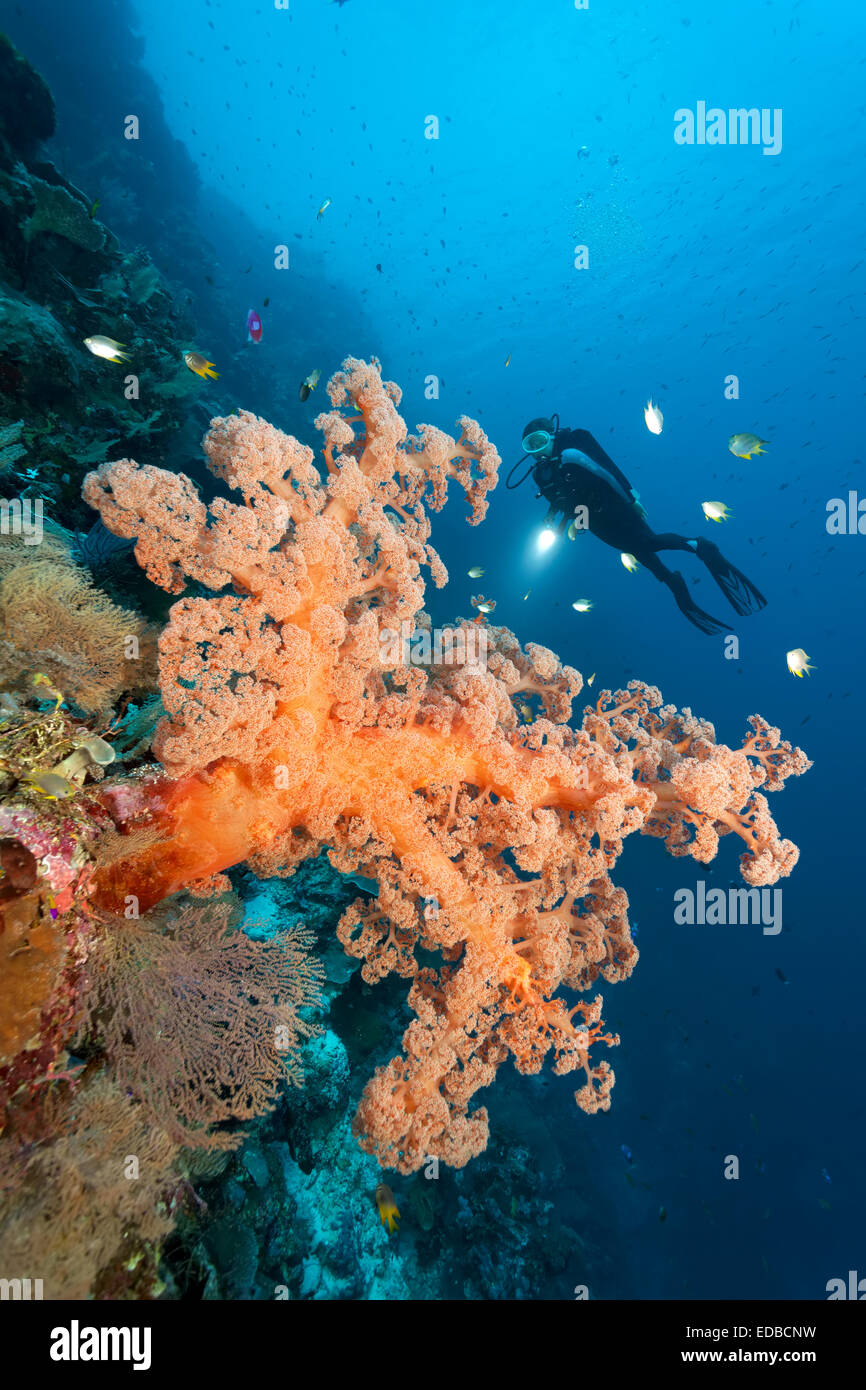Divers on coral reef cliff looking at large soft coral (Dendronephthya sp.), golden damselfish (Amblyglyphidodon - Stock Image