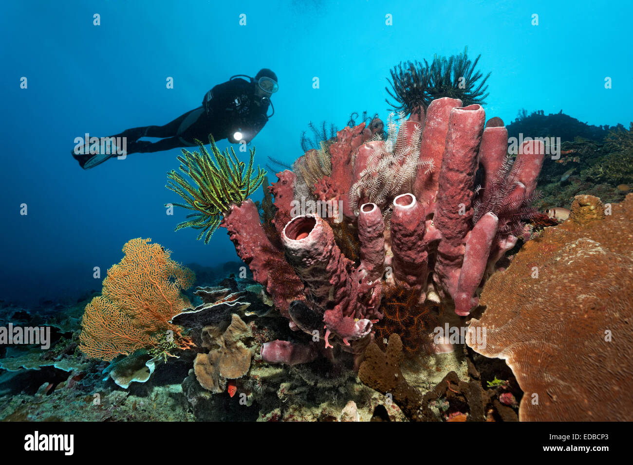 Divers looking at coral reef with various Sea lilies (Crinoidea) and red tube sponge (Cripbrochalina olemda), Great - Stock Image