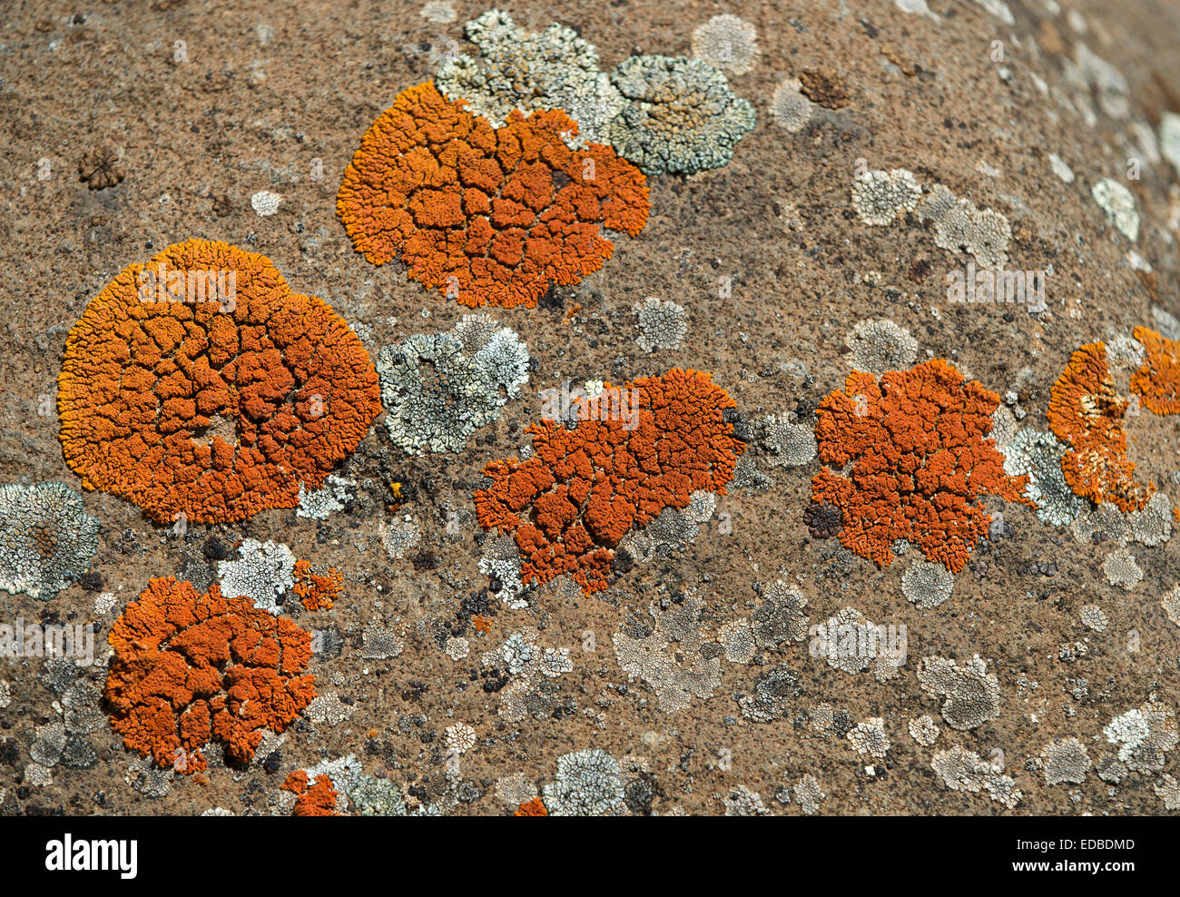 Orange Lichen (Caloplaca spec), Ethiopia - Stock Image