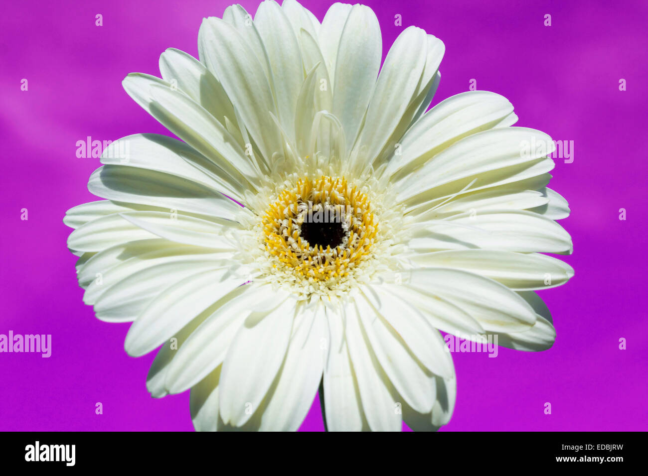 White Gerbera Flower Stock Photos White Gerbera Flower Stock