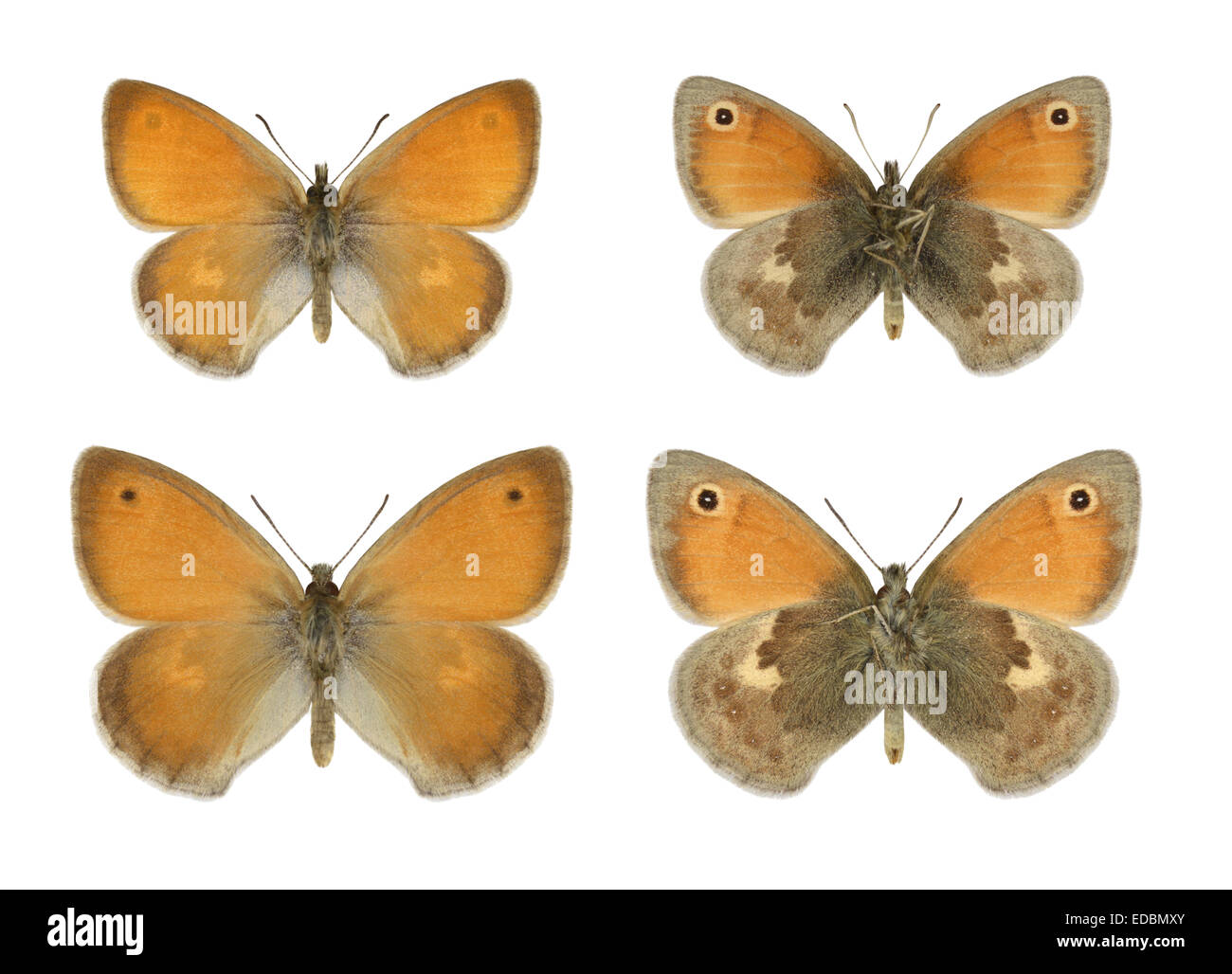 Small Heath - Coenonympha pamphilus - male (top row) - female (bottom row). - Stock Image