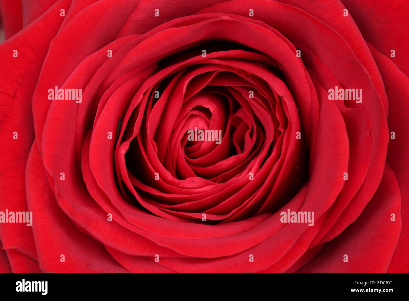 Closeup blossom red rose on mothers day or Valentine's day - Stock Image
