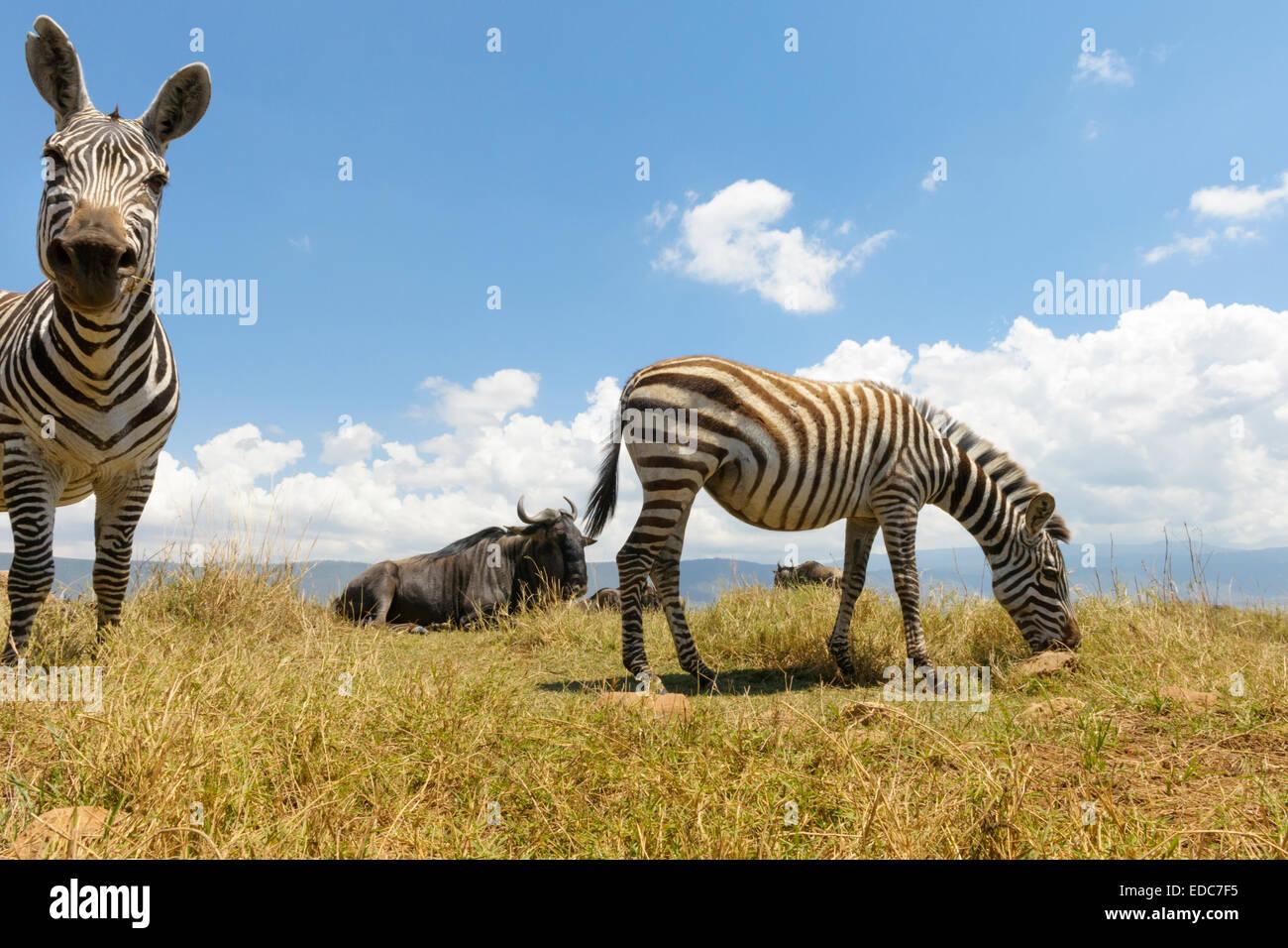 Plains Zebra (Equus quagga) grazing on the plain in the Ngorongor crater, from groundlevel, close up, Ngorongoro - Stock Image
