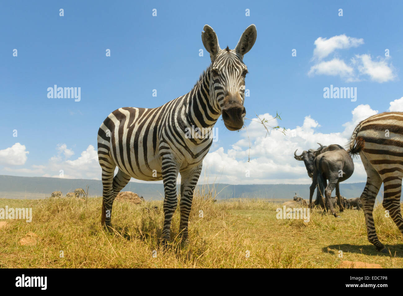 Plains Zebra (Equus quagga) grazing on the plain in the Ngorongor crater, from groundlevel, close up, Ngorongoro - Stock Image