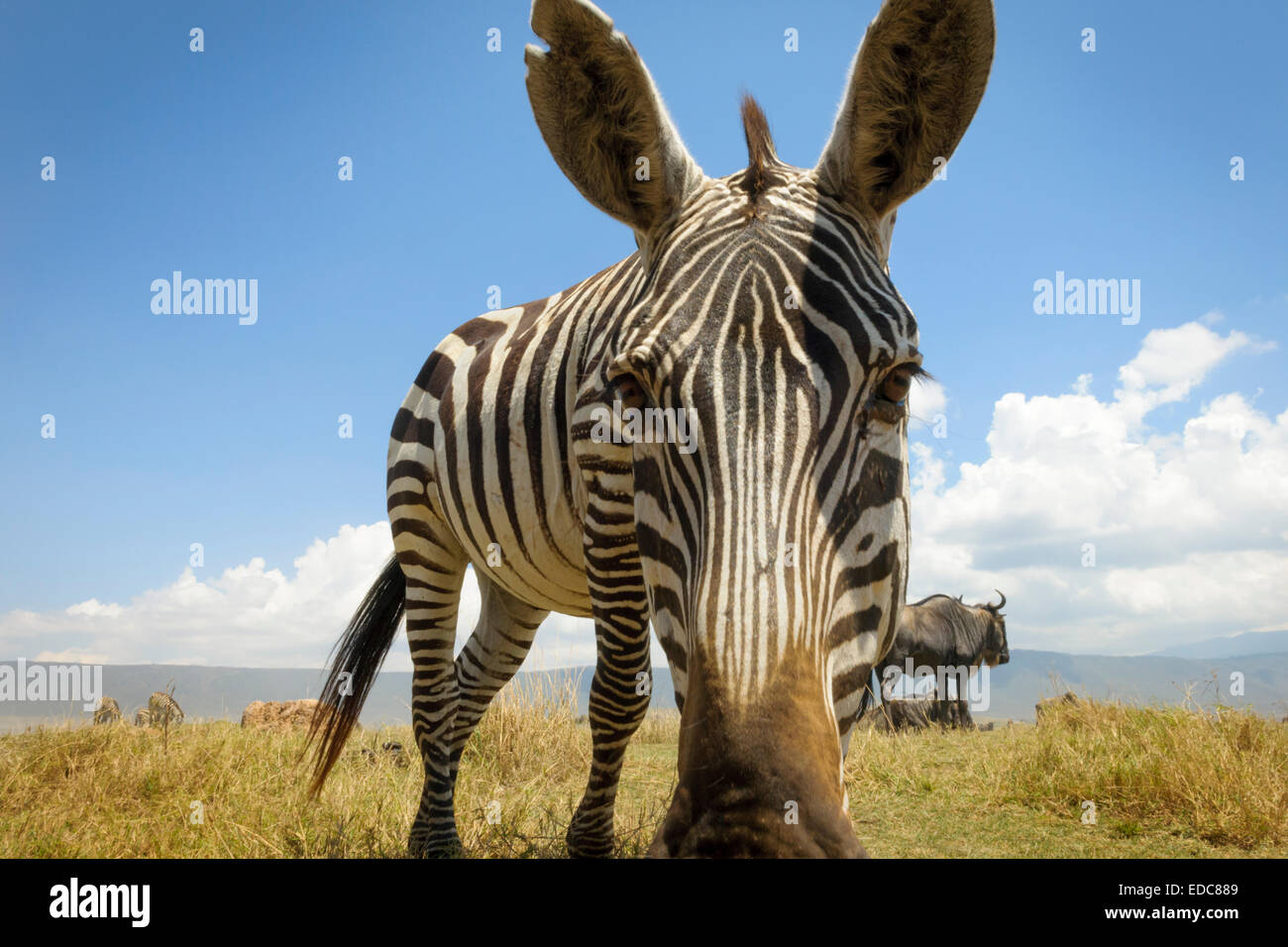 Plains Zebra (Equus quagga) grazing on the plain in the Ngorongor crater, from groundlevel, close up looking into - Stock Image