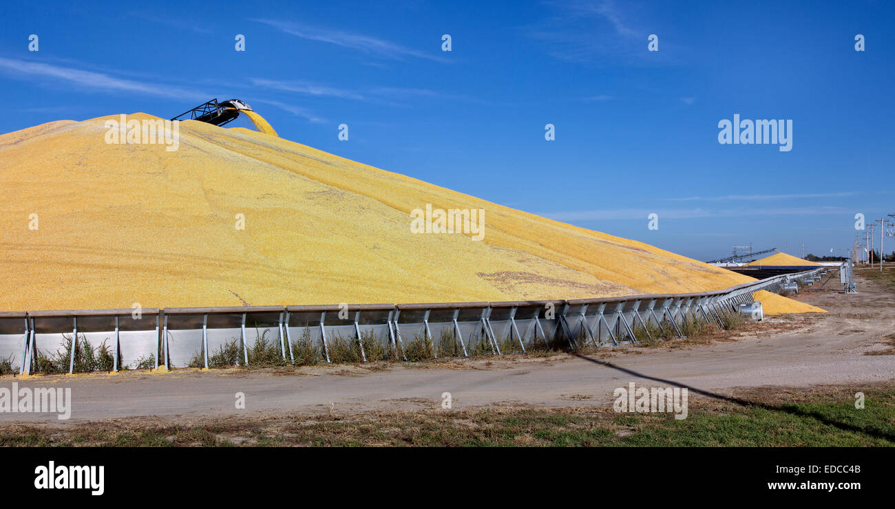 Transport conveyor depositing shelled corn  'Zea mays' into storage bunker. - Stock Image