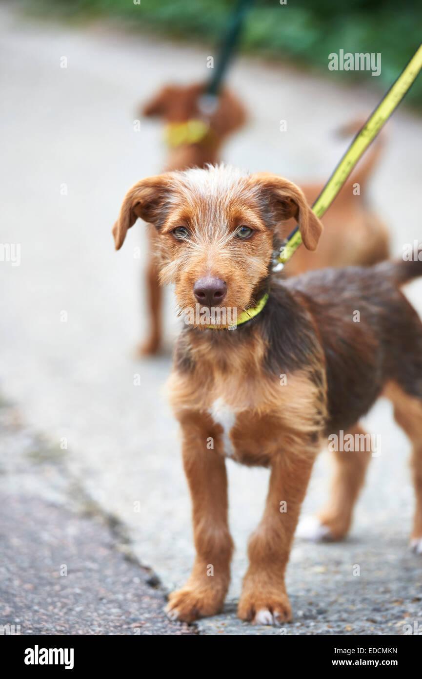 dog on lead - Stock Image