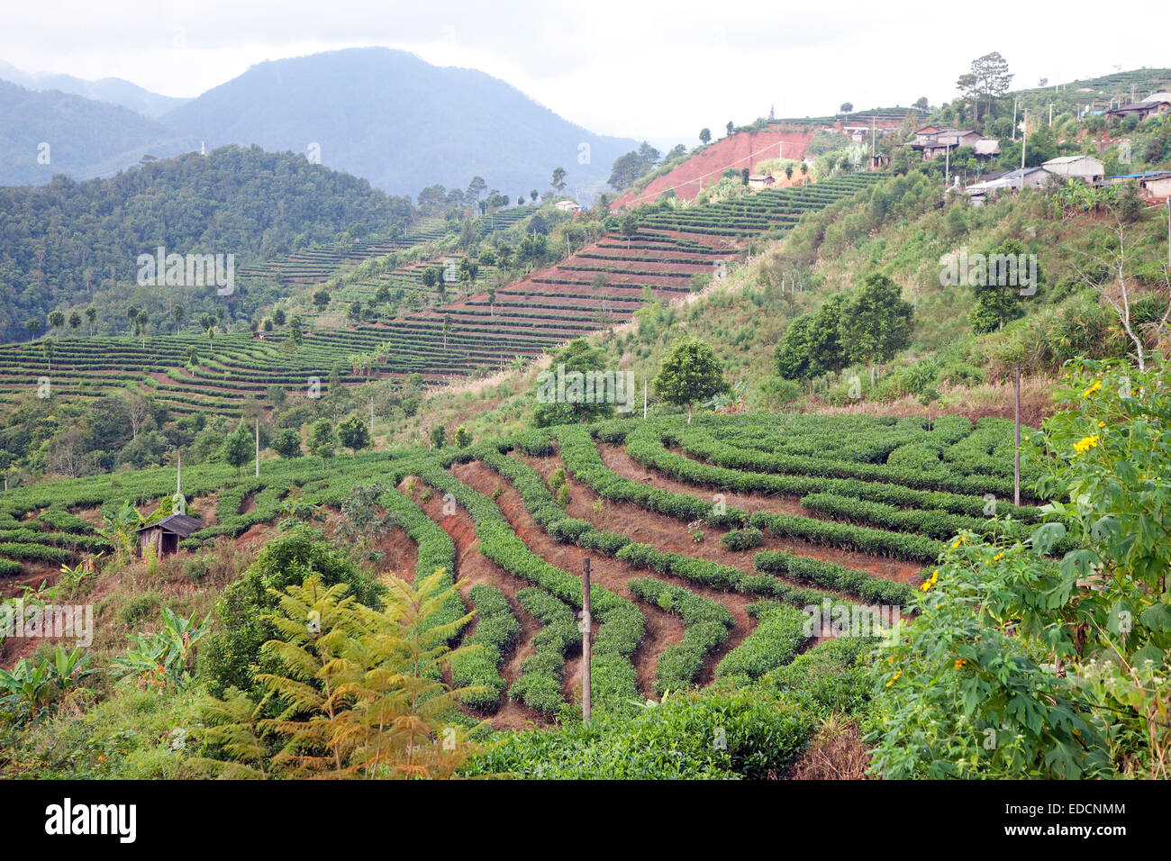 Terraced tea plantation on hillside in the mountains of the Yunnan province, China - Stock Image