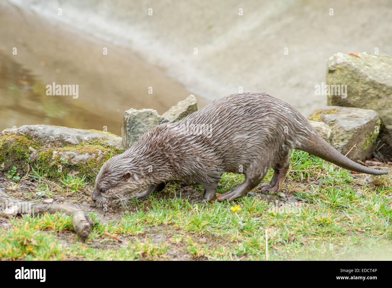 Otters are carnivorous mammals in the subfamily Lutrinae. The 13 extant otter species are all semiaquatic, aquatic Stock Photo