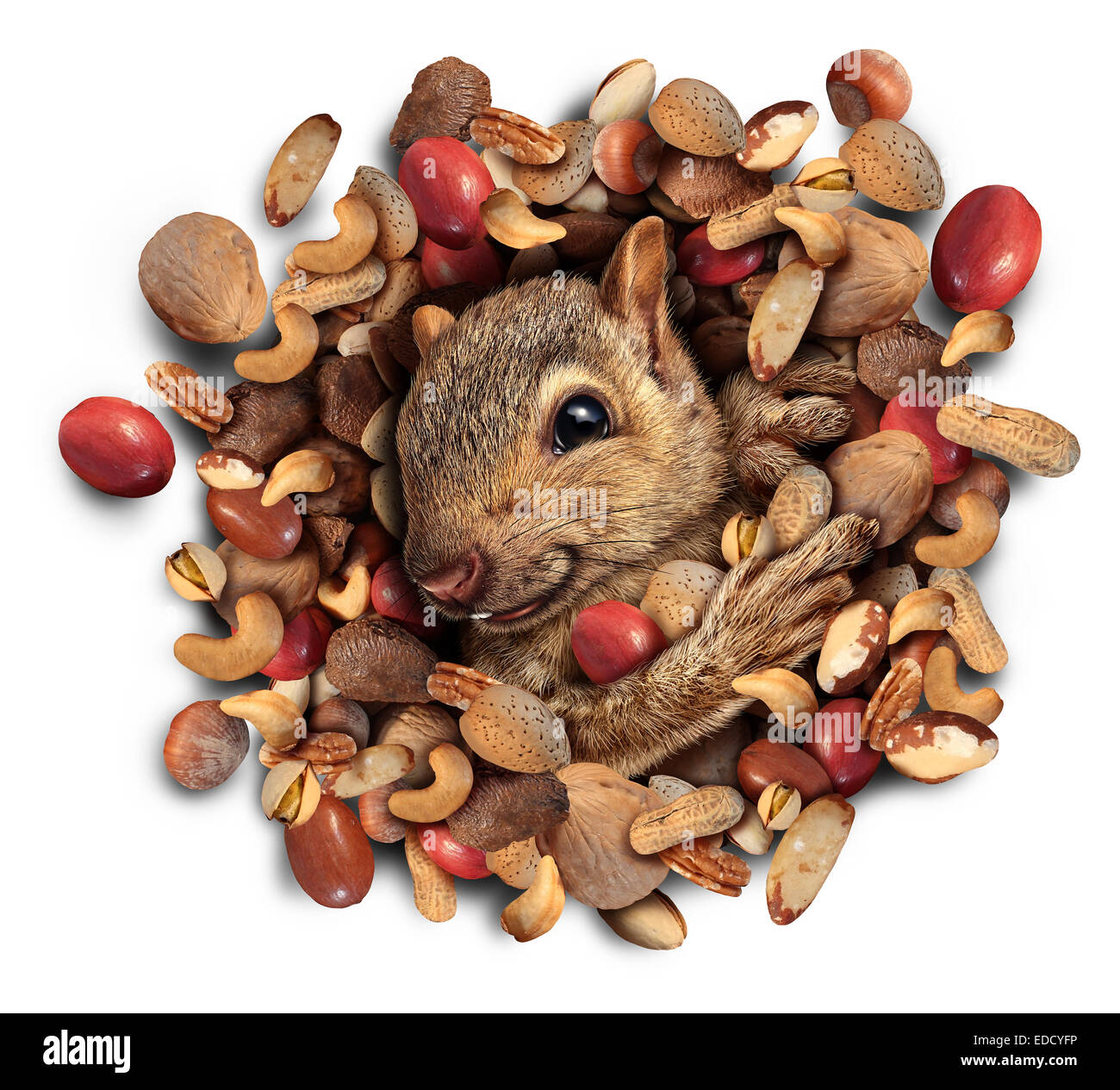 Squirrel nut burst concept as a cute furry rodent emerging from a heap of nuts as a symbol of plentiful food fortune - Stock Image