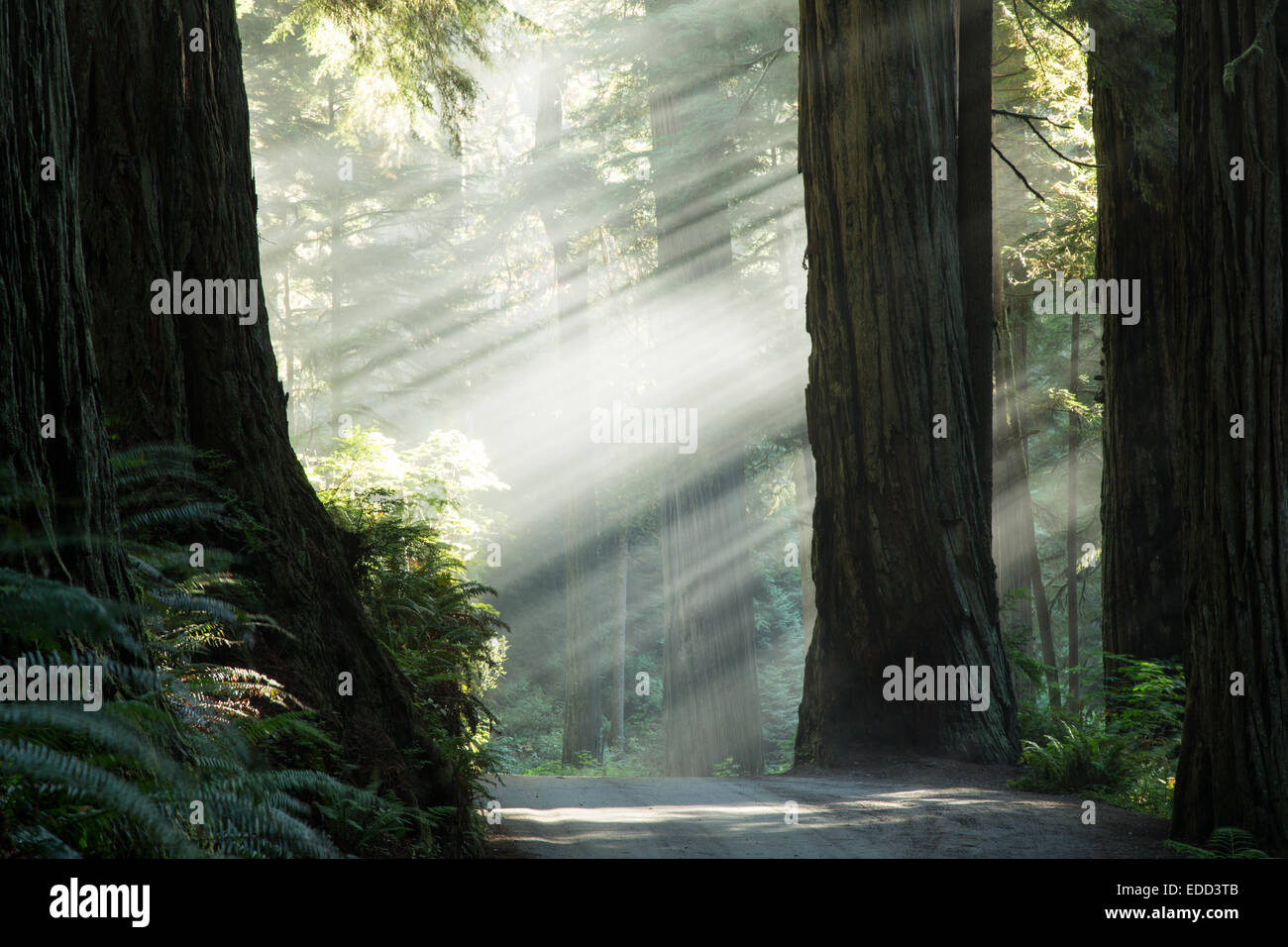 Sunbeams through the Redwood National Park and Forest Stock Photo