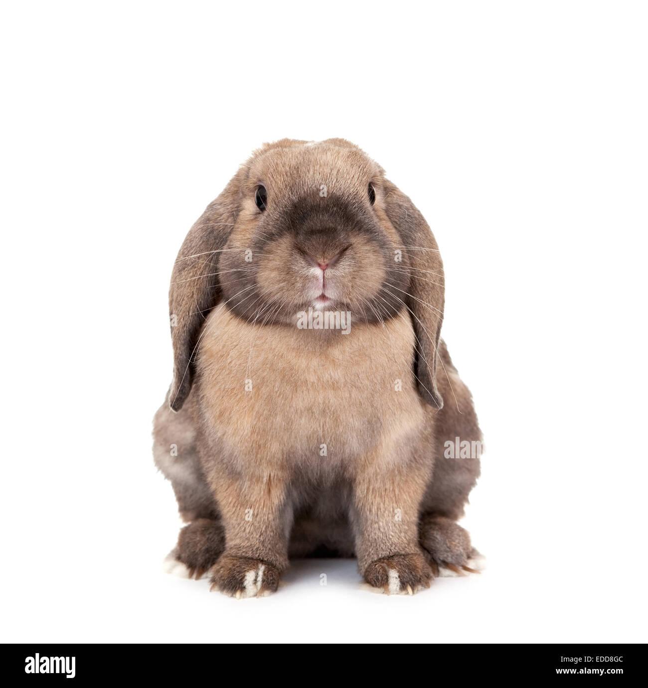 Rabbits are rams. Dwarf Rabbit Ram: breed description 85