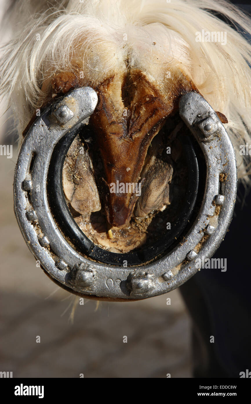 Shire Horse Hoof Grips are semi-pads placed between the shoe the horse's foot It prevents snow accumulations - Stock Image