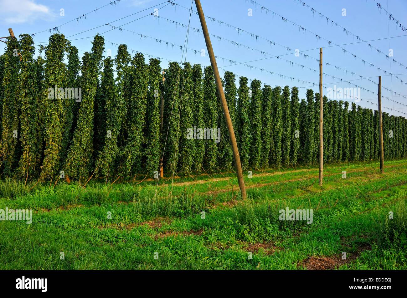 Hop Plants (Humulus Lupulus), Ready For Harvesting, Hop Garden, Harvested  Wire Racks, Right, Biburg, Hallertau Or Holledau Area