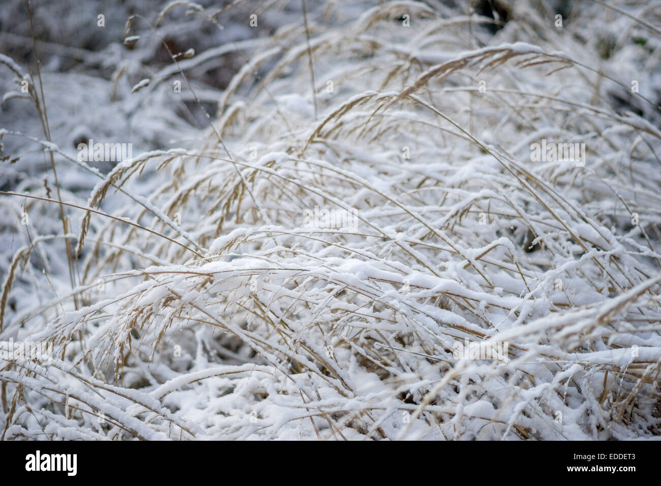 Withered grass covered with snow - Stock Image