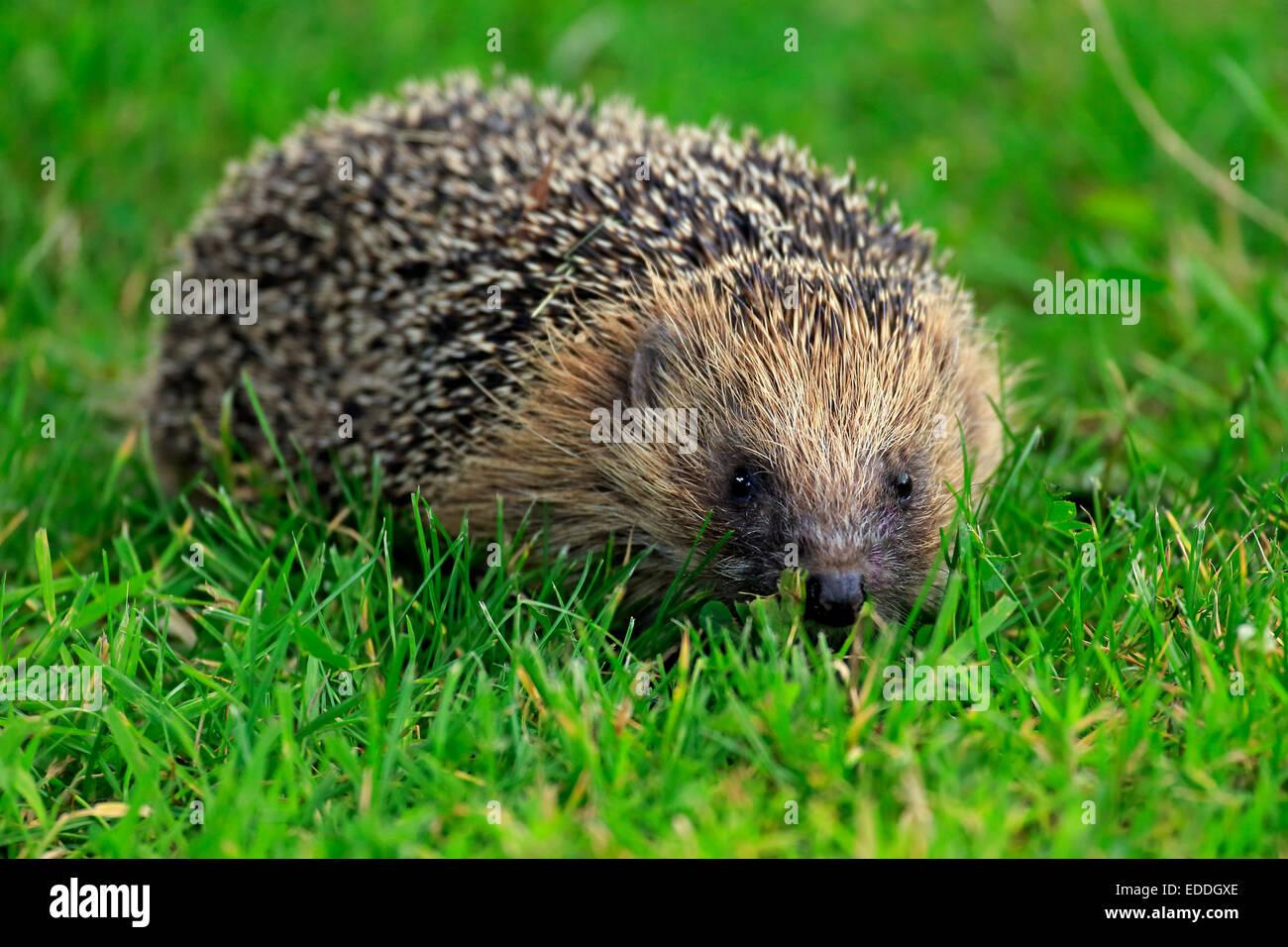 Hedgehog (Erinaceus europaeus), adult, Surrey, England, United Kingdom - Stock Image