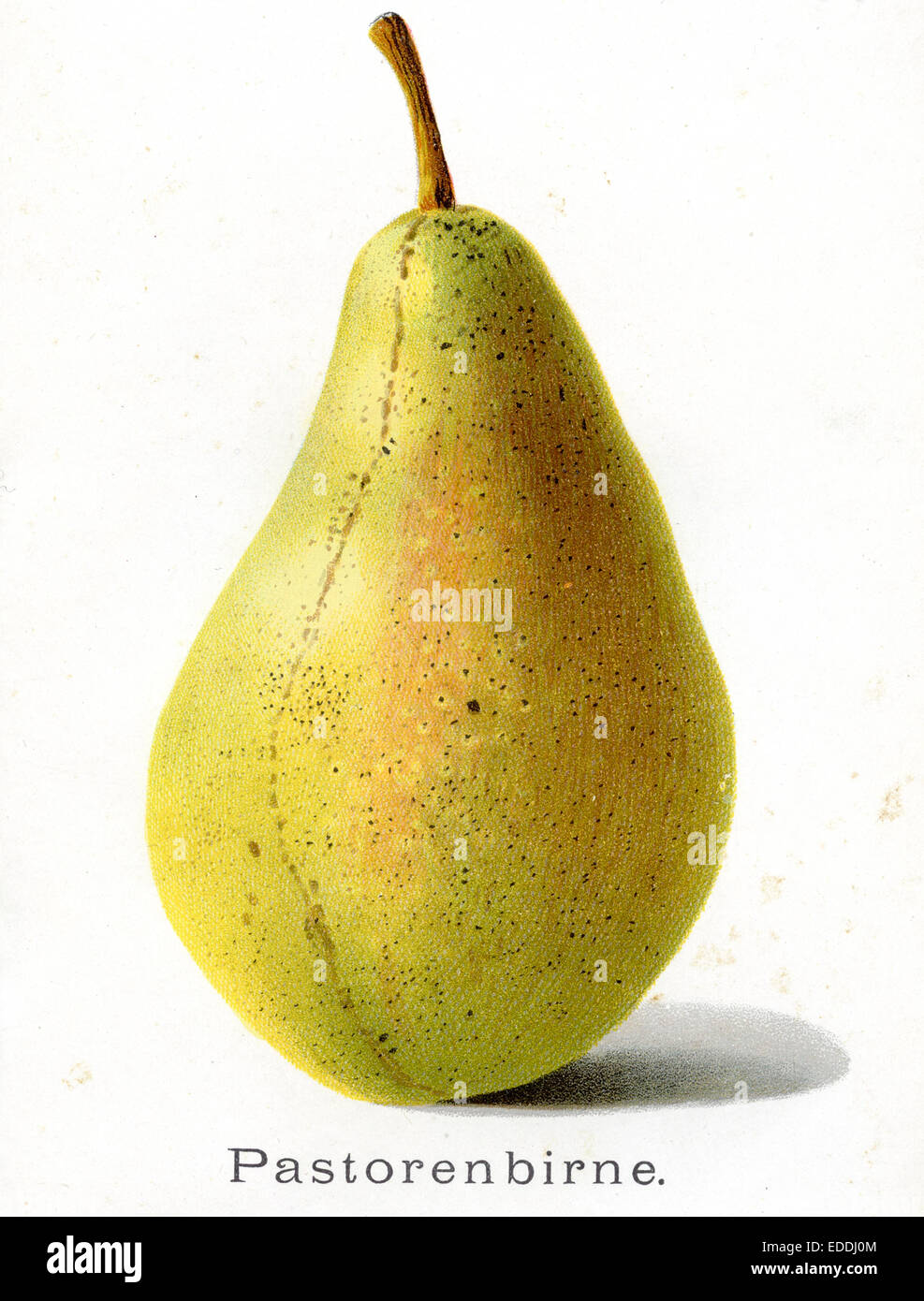 Pear, Pear: Pastor's pear - Stock Image