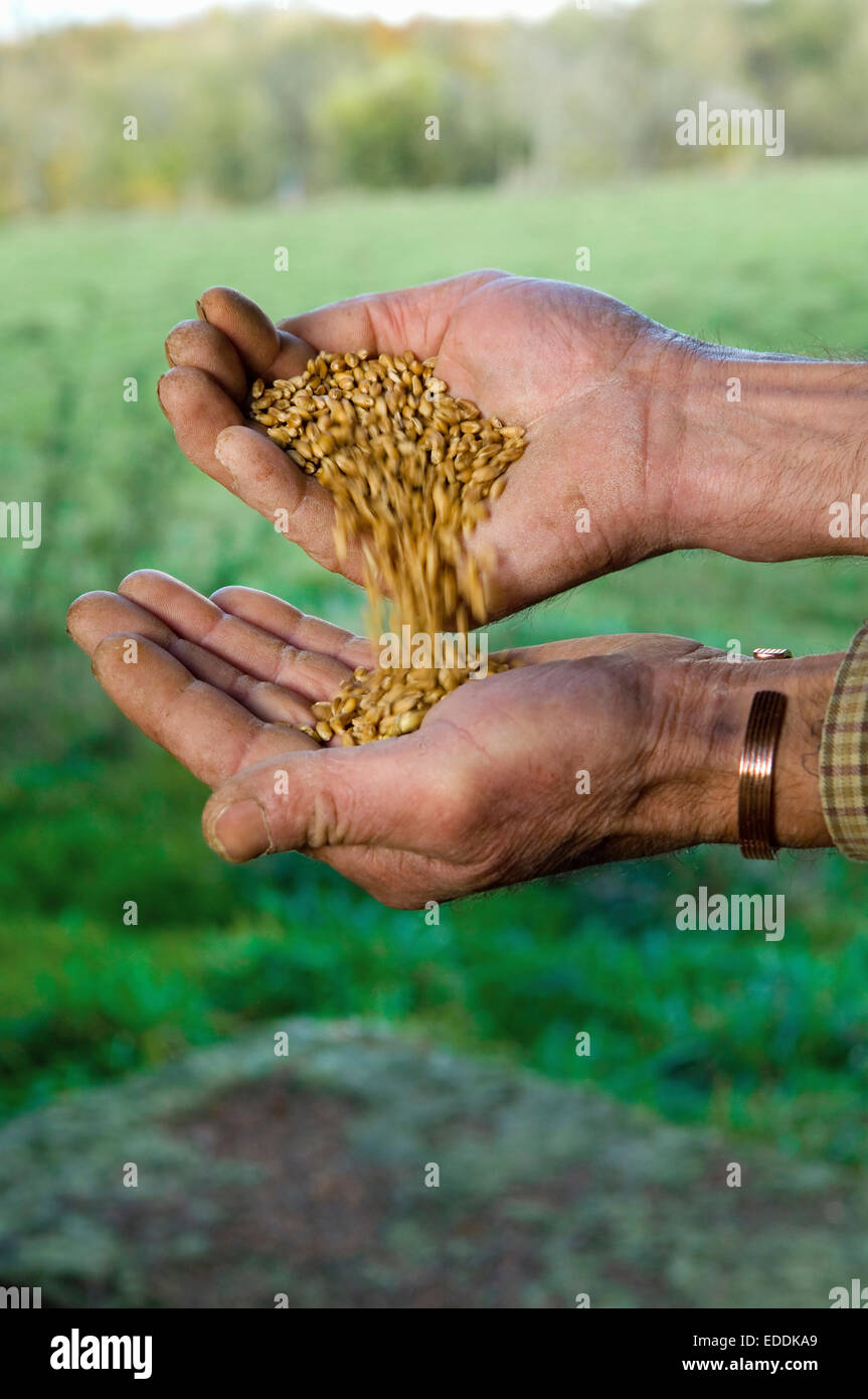 Close up of a man's hands pouring wheat from one hand into the other. - Stock Image