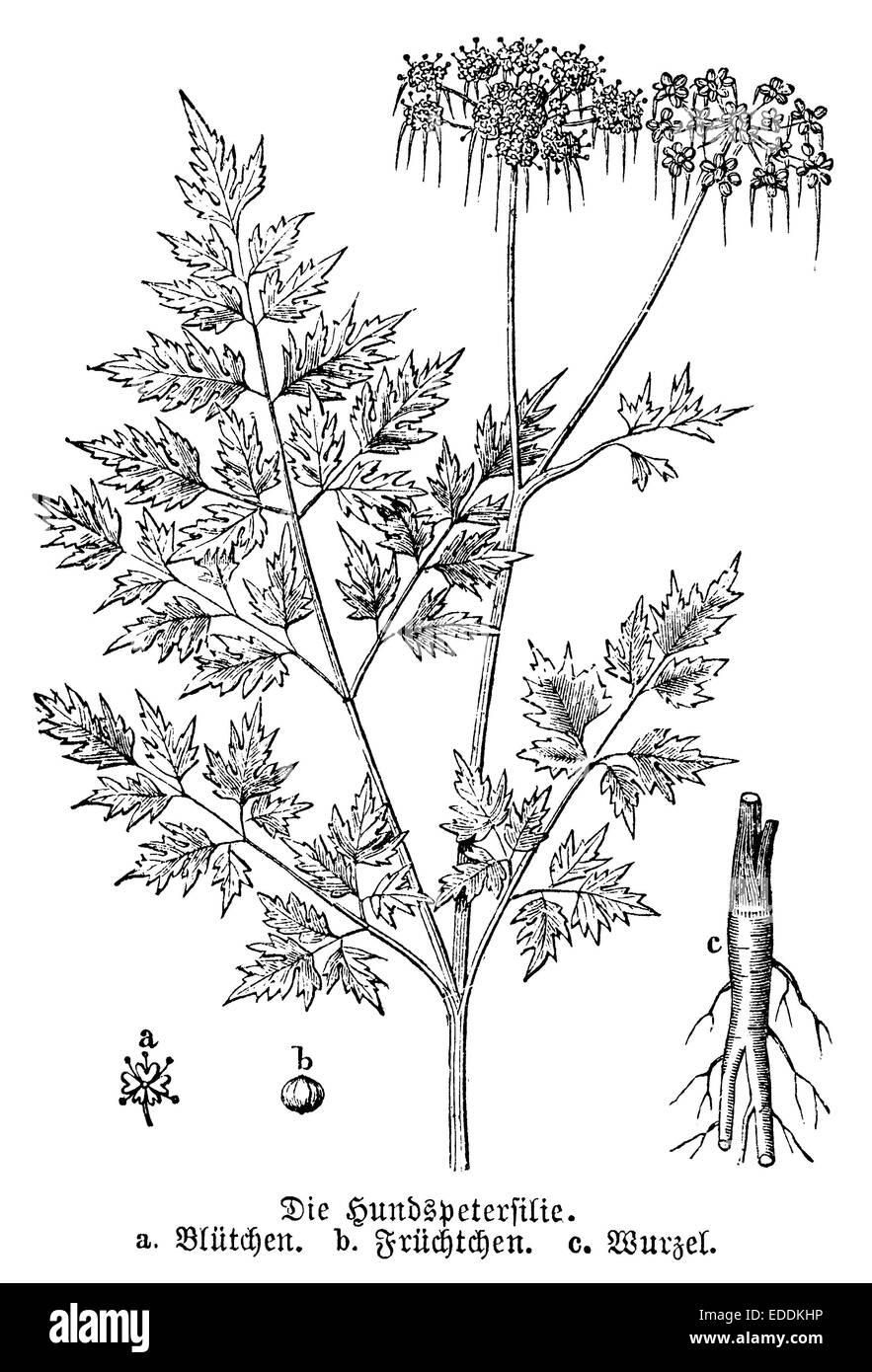 dog parsley - Stock Image