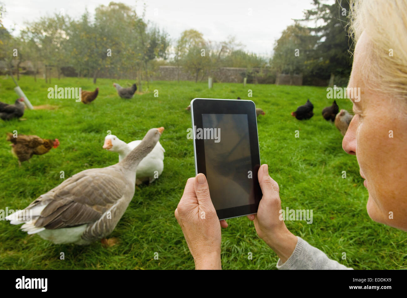 Woman holding a digital tablet, taking a photograph of geese and chicken in her chicken run. - Stock Image
