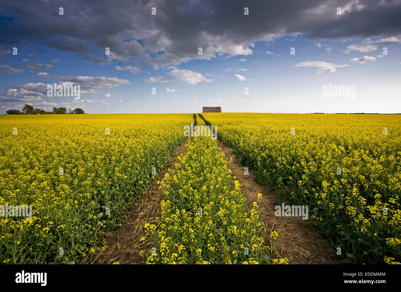 Canola Crops Stock Photos Canola Crops Stock Images Alamy