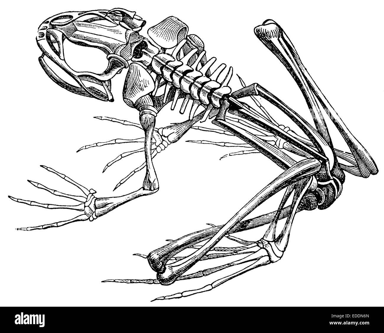 Großzügig Frosch Skelett Anatomie Bilder - Anatomie Ideen - finotti.info