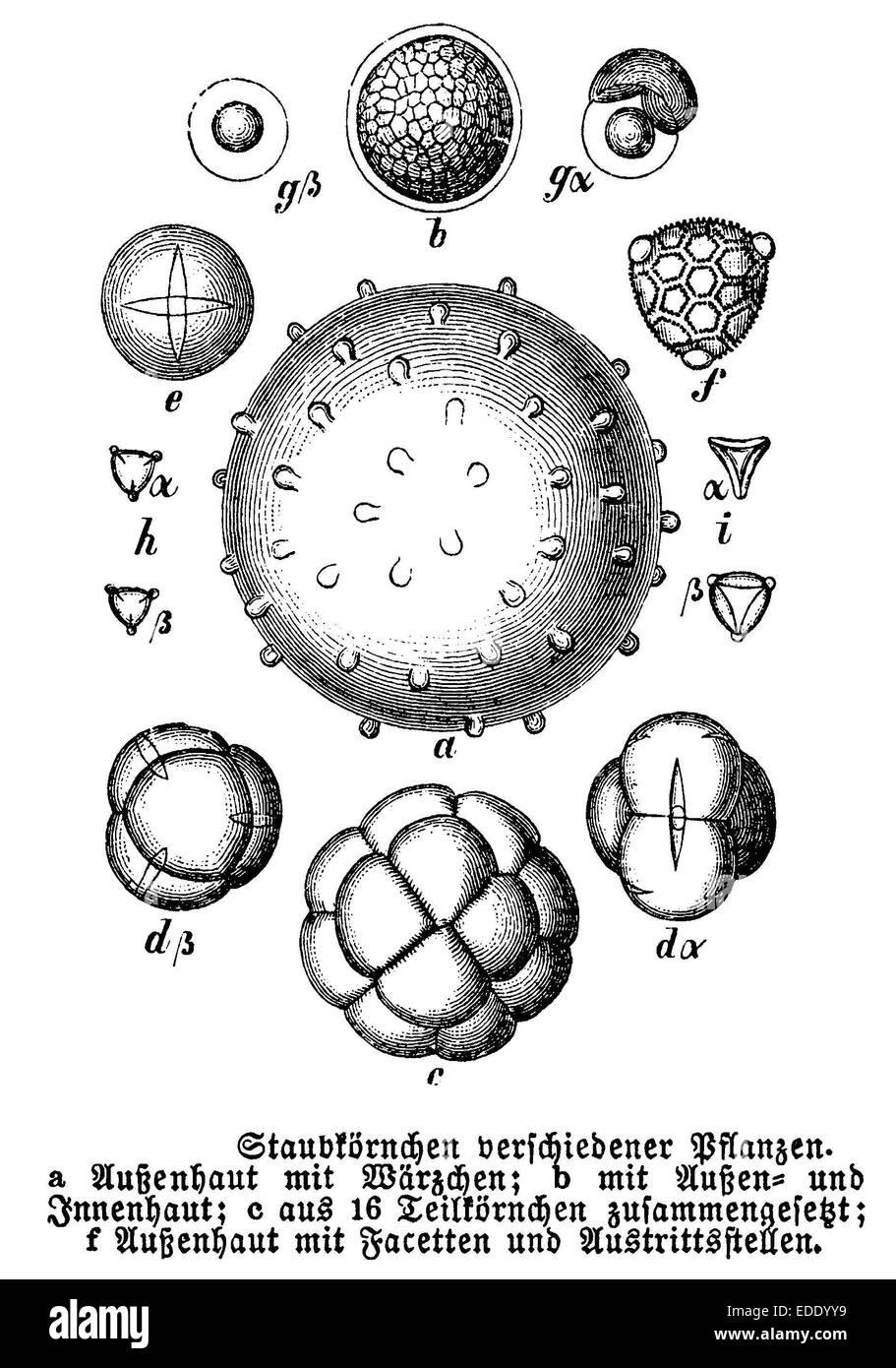 Staubkörnchen verschiedener Pflanzen, Pollen - Stock Image