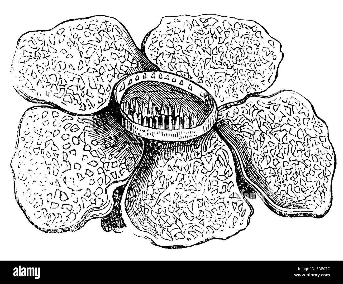 Rafflesia , blossom - Stock Image