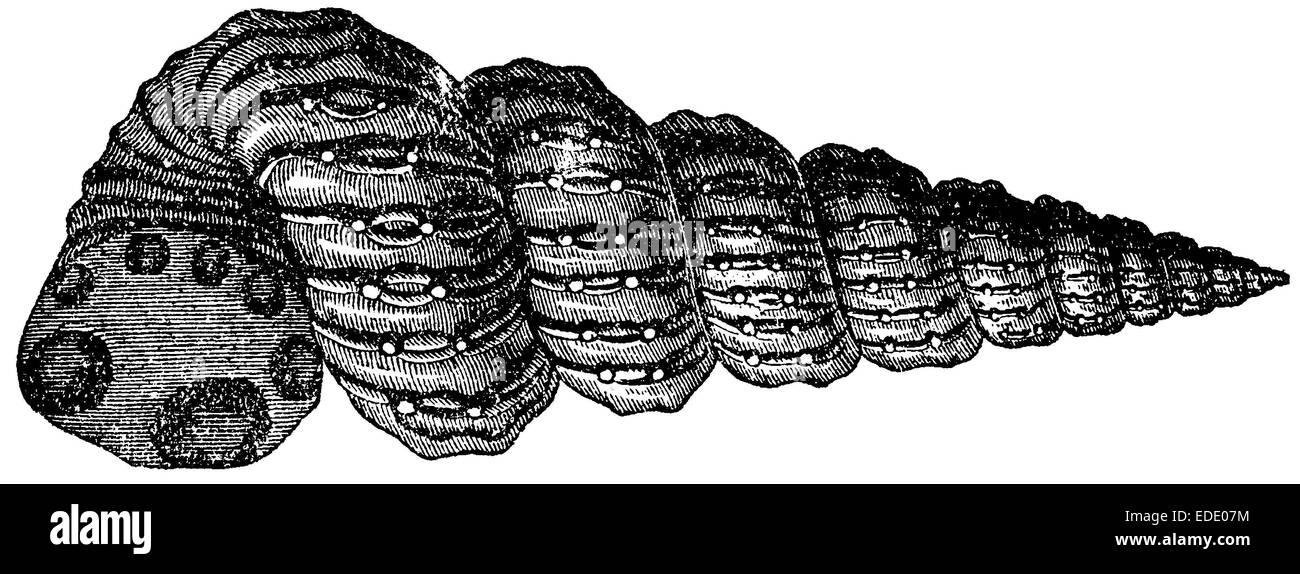 Turrilites catenatus - Stock Image